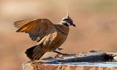 Spinifex Pigeon - Paradise of birds