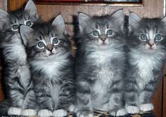 norwegian forest cat kittens