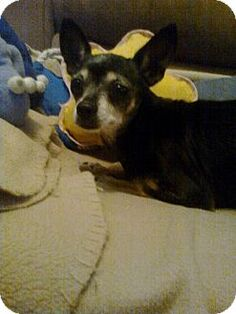 Crown Point, IN - Chihuahua. Meet DeeDee, a dog for adoption. http://www.adoptapet.com/pet/11667483-crown-point-indiana-chihuahua