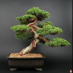 http://produktbilder.bonsaischule.de/59ca0630-2b7d-4ebd-8388-d7e6ad11cb66/008f76e2-5e68-481d-82e7-c2ba26c21613/700/Bonsai_Juniperus_chinensis_%60Itoigawa%60_Bild_I.jpg