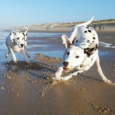 #dalmatian   #dalmatiansofinstagram   #dalmatians_of_instagram   #dalmata   #dalmatians   #dalmatianspotlight   #dog   #dogphotography   #dogsandpals   #doglovers   #doglife   #topdogphoto   #topdog   #ilovemydog   #beachdog   #ruffpost   #instagramdogs   #dogs   #dogoftheday   #myfriends   #igdogs   #picoftheday   #dogs_of_world   #doglover   #dalmatian_central   #action   #actionshot   #fun   #dalmatian_feature   #playing