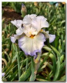 Randall Fox of San Martin took this picture last spring at Nola's Iris Garden in the foothills of San Jose.