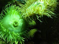 Cali anemone