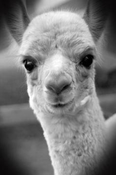 Alpaca cria (Clarise - 2010)