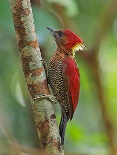 Banded woodpecker (Chrysophlegma miniaceum) female ar Dairy Farm Nature Park.