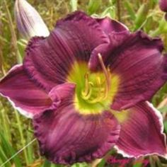 CARIBBEAN AMETHYST SNOW Hybridizer: Talbott Year of Registration or Introduction: 1998 Ploidy: Diploid Foliage type: Evergreen Scape height: 29 inches Bloom size: 5 inches Bloom time: Midseason-Late Plant Traits: Extended Bloom Bloom Traits: Bicolor or Reverse Bicolor Bloom Form: Single Color description: Purple bicolor with green throat.