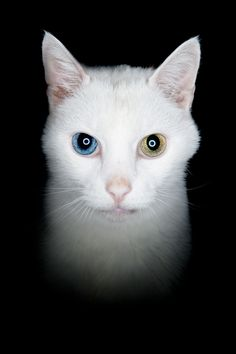 Did you know that a white cat with different colored eyes is often deaf? They need special care.