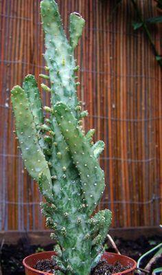 Opuntia monacantha variegata http://www.facebook.com/pages/Le-Jardin-de-Monsieur-Semper/236141563196029