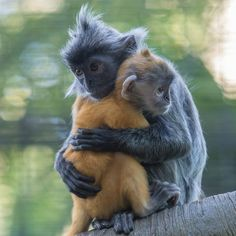 Silver Leaf Langurs cuddle close together at the San Diego Zoo | photo by Bob Worthington