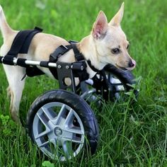 Chihuahua Front Support Dog Wheels in Grass