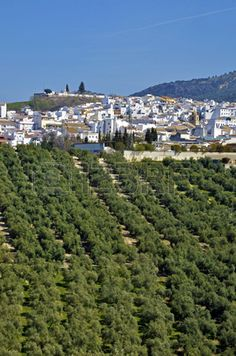 Olivos en Córdoba  Spain