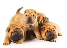 Shar-pei Puppies.  Who wouldn't love a face like this.