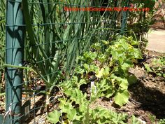 Grow Cantaloupe Vertically And Get A Lot of Tasty Fruit From A Small Footprint – The Fervent Gardener Planting Cantaloupe, Growing Cantaloupe, Footprint, Hydrangea, Vines, Tasty, Backyard, Outdoor Structures, Landscape