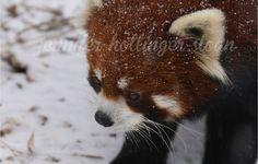 By jhs red panda Toronto Zoo, Fox, Animals, Animais, Animales, Animaux, Animal, Foxes, Red Fox