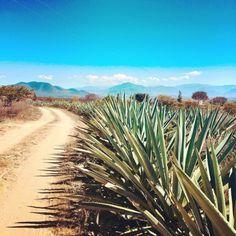 Blue Agave Fields Oaxaca, Mexico