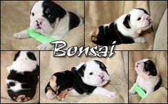 Bonsai - Half A Bulldog, Twice The Love | Pets & Animals - YouCaring