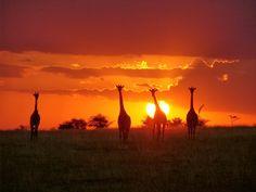 Offbeat #Kenya, Masai Mara Deloraine house giraffes at sunset