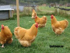 Introducing new chickens to the bunch