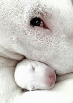 Uplifting So You Want A American Pit Bull Terrier Ideas. Fabulous So You Want A American Pit Bull Terrier Ideas. Perros Bull Terrier, Chien Bull Terrier, Bull Terrier Puppy, Beautiful Dogs, Animals Beautiful, Cute Animals, Cute Puppies, Cute Dogs, Dogs And Puppies