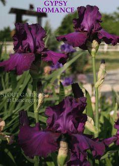 Iris GYPSY ROMANCE   Stout Gardens at Dancingtree
