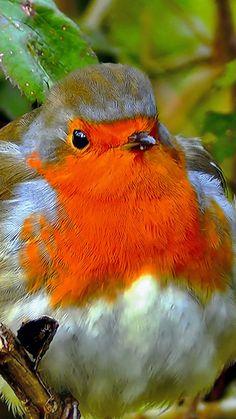 Robin, bird, close up, 720x1280 wallpaper