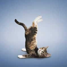 crazy cute photos by Daniel Borris http://yogadogz.com/YD/Yoga_Cats.html