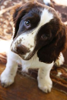 Look at that face! Springer Spaniel Puppy.