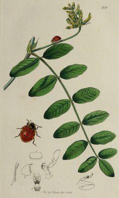 1828 Antique botanical engraving of a LADYBUG by AntiquePrintsOnly, $24.00