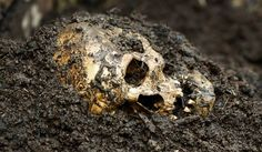 Trophy Skulls - Headhunters in London-A report in the Journal of Archaeological…