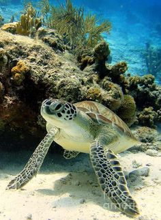sea life - sea life photography - sea life underwater - sea life artwork - sea life watercolor sea l Baby Sea Turtles, Cute Turtles, Sea Turtle Pictures, Animals Beautiful, Cute Animals, Tortoise Turtle, Turtle Love, Sea Turtle Art, Green Turtle
