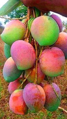 41 Ideas Fruit And Vegetables Photography Healthy Mango Fruit, Fruit And Veg, Fruits And Vegetables, Fresh Fruit, Fruit Plants, Fruit Garden, Fruit Trees, Vegetables Photography, Fruit Photography