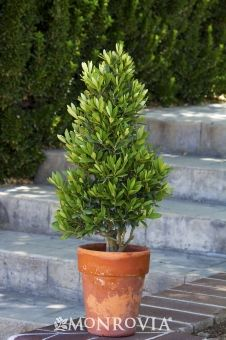 little ollie - dwarf olive tree - good in pots, drought tolerant, full sun, easy to shape. For back yard pots Dwarf Trees, Trees And Shrubs, Potted Trees Patio, Evergreen Potted Plants, Outdoor Plants, Outdoor Gardens, Patio Plants, Outdoor Spaces, Outdoor Privacy
