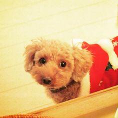 プレゼントまだ #wooftoday #toypoodle #dog #poodle #doginstagram #ilovemydog #dogstagram #mydogiscutest #dogsofinstagram #cutedog #smalldog #犬 #トイプードル