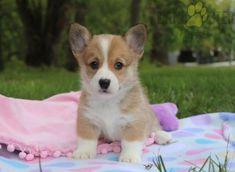 #WelshCorgi #Pembroke #Charming #PinterestPuppies #PuppiesOfPinterest #Puppy #Puppies #Pups #Pup #Funloving #Sweet #PuppyLove #Cute #Cuddly #Adorable #ForTheLoveOfADog #MansBestFriend #Animals #Dog #Pet #Pets #ChildrenFriendly #PuppyandChildren #ChildandPuppy #LancasterPuppies www.LancasterPuppies.com Puppies For Sale, Cute Puppies, Corgi Names, Pembroke Welsh Corgi Puppies, Lancaster Puppies, Animals Dog, Dundee, Cute Little Girls, Mans Best Friend