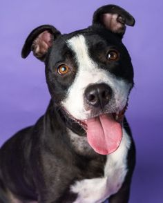 Hi friend! I'm Storm, a super sweet, affectionate girl who loves people! I'd love to hang out with you and receive gentle affection, watch Netflix, or play games. I really enjoy stuffed toys and may even toss it around a bit. I'm attentive for treats, and already know sit! I'd love to learn new things! Can you teach me?  I'm in Durham, North Carolina. To set up a virtual visit or to adopt, please email adopt@apsofdurham.org.  Awesome Dogs, Animal Protection, Watch Netflix, New Things To Learn, Stuffed Toys, Love People, Durham, Hanging Out, Games To Play