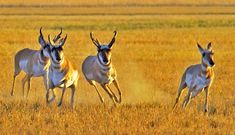 Watch out!  Pronghorn on the move!