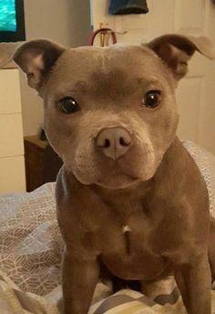 Pitbull puppy via aww on September 29 2018 at - Hundi - Hunde bilder Cute Funny Animals, Cute Baby Animals, Animals And Pets, Nature Animals, Wild Animals, Cute Puppies, Cute Dogs, Dogs And Puppies, Doggies