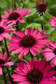 ECHINACEA purpurea 'Summer Cloud' - Solhat, farve: purpur/mørke stængler/duftende, lysforhold: sol, højde: 75 cm, blomstring: juli - august, velegnet til snit, god til bier og andre insekter.
