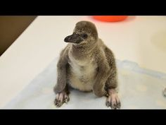Adorable penguin chicks hand-reared at ZSL London Zoo