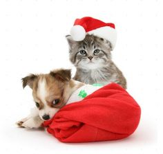 Photograph of Maine Coon kitten, Goliath, and Chihuahua puppy in Father Christmas hats. Rights managed white background Pets image. Cute Puppies And Kittens, Chihuahua Puppies, Baby Puppies, Christmas Kitten, Christmas Puppy, Cute Animal Memes, Cute Animal Videos, Maine Coon Kittens, Animal Antics