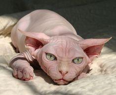 Nudels Texas Hairless Sphynx cats  hairless Sphynx kittens, NaughtyNature