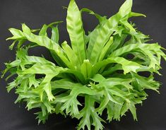 Pictures of Birds Nest Fern | home plants ferns moss bird s nest fern asplenium nidus crissie part ...