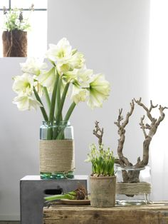Amaryllis in einer robusten Vase. Flower Decorations, Table Decorations, Decoration Plante, Christmas Feeling, Deco Table, Hello Beautiful, Flower Pots, Flowers Vase, Fresh Flowers