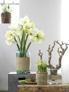 Amaryllis  in mooie vaas