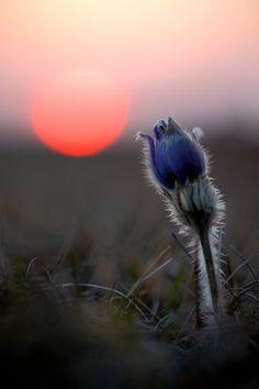 Küchenschelle (pulsatilla) im Sonnenuntergang