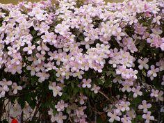 Clematis montana 'Rubens'. Eine der bekanntesten frühjahrsblühende Clematis.