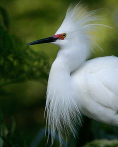 Snowy Egret | National Audubon Society Guide to North American Birds | A beautiful, graceful small egret, very active in its feeding behavior in shallow waters. Known by its contrasting yellow feet, could be said to dance in the shallows on golden slippers #white #egret