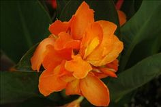 "Canna Lily ""Carnival"" live plant Cannaceae"