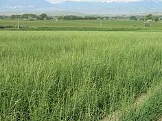 Slender wheatgrass in early summer.