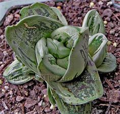Gasteria 'Big Brother'     A chunky smallish spiralling gasteria with short thick rounded heavily variegated silvery-white / dark green leaves. To 10cm in diameter. Light shade